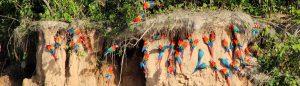 Macaw clay lick, Tambopata, Peru
